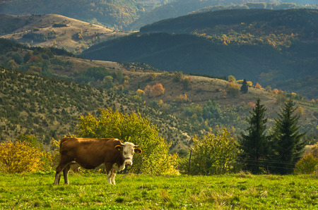 Cow on a meadow at autumn, mountain Goc, Serbia