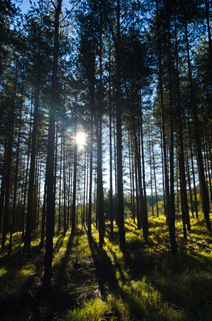 Sunrays at coniferous forest, autumn sunny morning at Zeljin mountain in Serbia