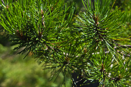 Fir branches closeup in a forest at Divcibare mountain, Serbia
