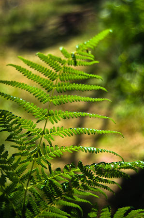 Fern illuminated by ray of light deep in a dark forest, Divcibare mountain, west Serbia