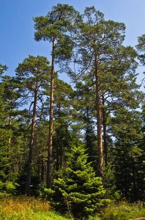 and hiking path: Small fir in front of large pine trees at Divcibare mountain, west Serbia