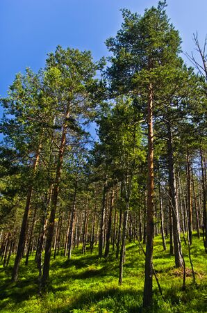 Pine tree forest at Divcibare mountain, west Serbia