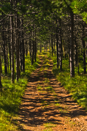 Path through pine tree forest at Divcibare mountain in west Serbia