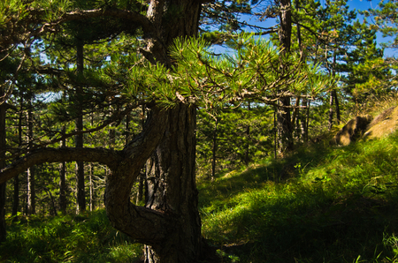 Pine tree forest at Divcibare mountain in west Serbia