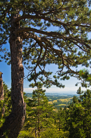 Pine tree in front of Divcibare mountain landscape in west Serbia