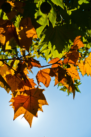 Yellow autumn leaves against blue sky on a sunny autumn day in Belgrade, Serbia