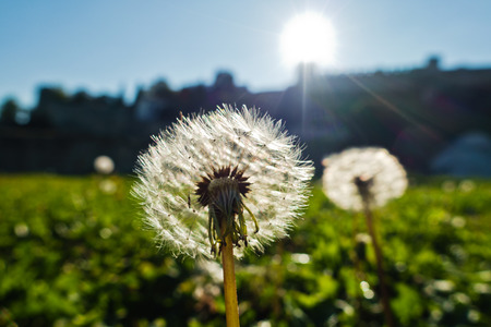 Dry dandelions backlit by the sun on a green meadow at sunny morning in Kalemegdan park, Belgrade, Serbia