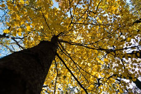 Tree trunk with yellow leaves against blue sky in autumn, Kosutnjak forest, Belgrade, Serbia Stock Photo