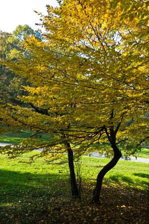 Trees with yellow leaves on a sunny autumn day in a park, Kosutnjak forest, Belgrade, Serbia