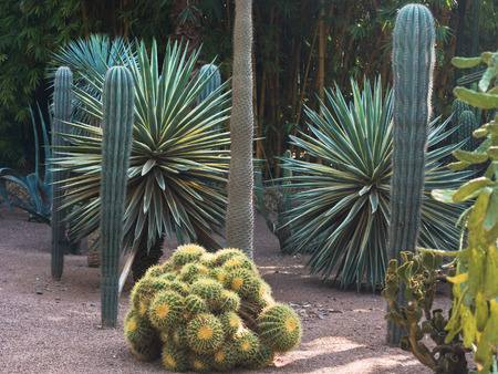 Variety of cactus and other trees at Majorelle garden in Marrakech, Morocco, Africa