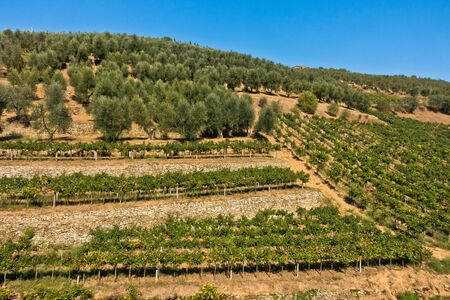 Hiking hills and backroads with vineyards and olive trees at autumn, near Vinci in Tuscany, Italy Banco de Imagens