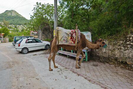 Camel parked on a parking lot near Kayakoy village and Oludeniz beach, Fethiye, Turkey