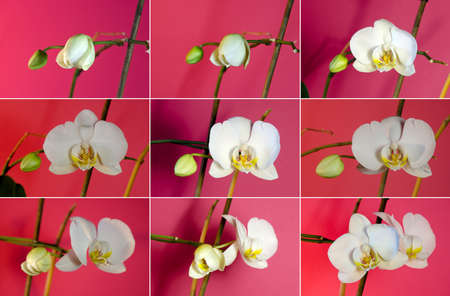 developed: Set of pictures of growing white orchids. From a bud to a developed flower.