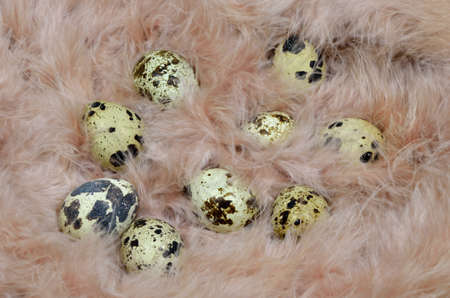 quail nest: Quail eggs in a nest of pink feathers. Stock Photo
