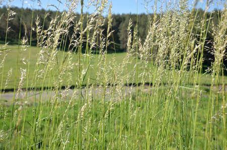 panicle: Grass panicle, green fields and pine forest Stock Photo