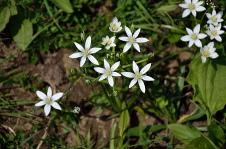timid: Small white wild flowers surrounded with green grass panicles Stock Photo