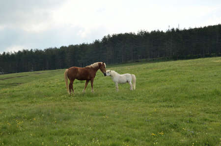 horse love horse kiss animal love: Brown and white horse kissing on green spring field
