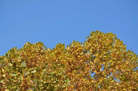 hojas de arbol: cielo y los �rboles azules claras tapas con hojas amarillas en oto�o