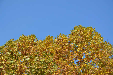 tree leaf: Clear blue sky and tree tops with yellow leaves in fall