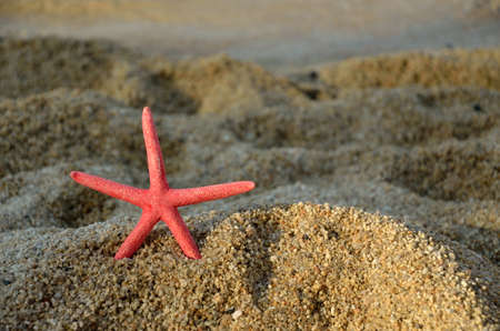 sea star: Red sea star on sandy beach at the end of a day