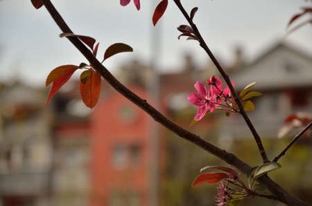 wakening: Pink flowers on a tree branch in front plan with residential buildings contours - diffused as on aquarelle painting - in background Stock Photo