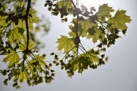 enlightened: Fresh green leaves enlightened by sun in spring morning