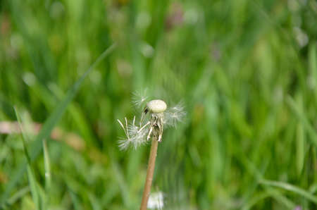 wind blown hair: Blown dandelion with a few petals and green grass in background Stock Photo