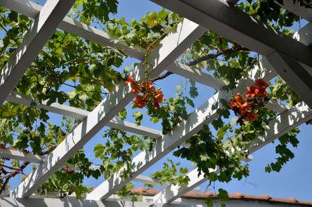 地中海スタイルの庭上の屋根構造の赤い花を持つつる植物