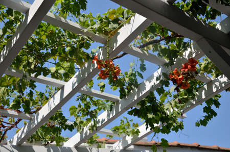 Vine with red flowers on roof structure above the garden in Mediterranean stile