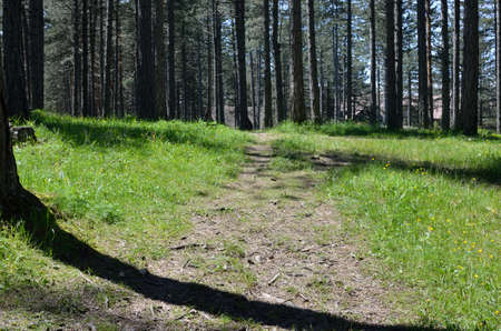 conifer: Mountain lane and high conifer trees in spring