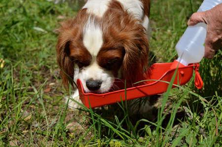 Charming Dog, Cavalier King Charles Spaniel (Blenheim) drinking water from portable water dispenser