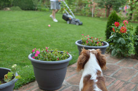 Beautiful dog, Blenheim Cavalier King Charles Spaniel, looking at a man mowing a lawn, its best friend Stock Photo