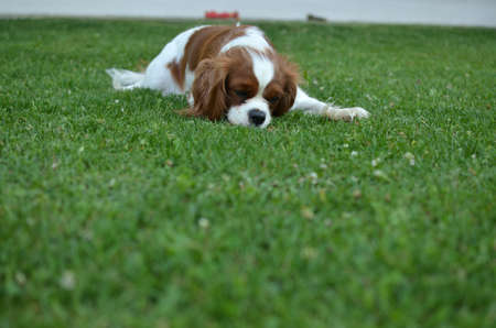 cavalier: Tired lovely dog, Blenheim Cavalier King Charles Spaniel, is resting on a lawn in backyard