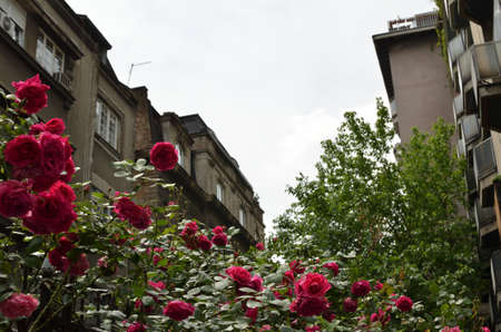 Bush of red roses in old part of town with old buildings and cloudy sky in background Stock Photo