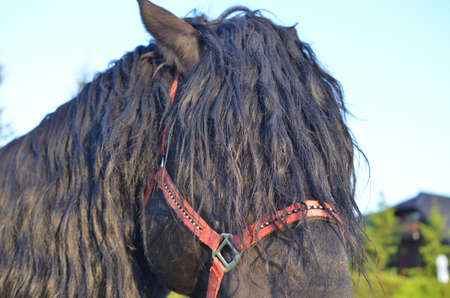 Closeup of a black horse head with red reins covered with mane