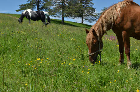 Close-up of a brown horse grazing in a rural field with yellow buttercups with black and white horse blurred in background
