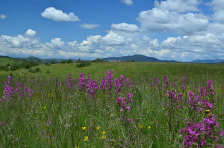 serbia landscape: Springtime landscape of Zlatibor Mountain in Serbia, with wildflower meadow and hills in background