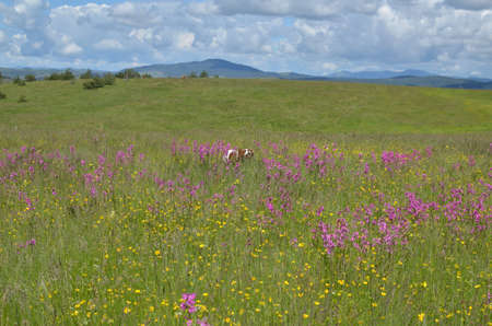 Dog running through lush and high wildflowers on a spring meadow, thus is hardly visible