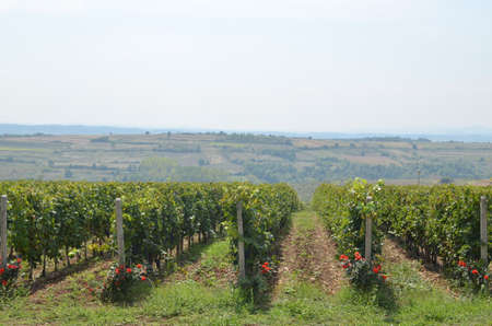 serbia landscape: Lines of red grapes vineyard decorated with red roses and a docile countryside in background