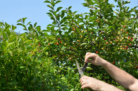 Man cutting hedge in his garden on a sunny day Stock Photo