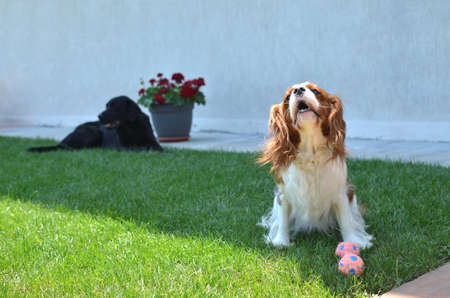 Lovely dog - Cavalier King Charles Spaniel - with its toy on a lawn and barking while another big black dog is lying behind