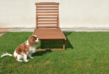 Dog - Cavalier King Charles Spaniel and wooden deck chair on a lawn