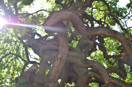 Sun beam against twisted branches of a tree in summertime