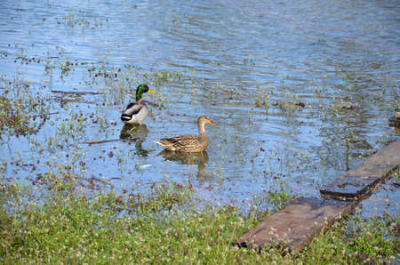 Ducks in river water after a flood in an urban area