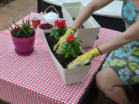 Woman re-potting red flowers on a garden table