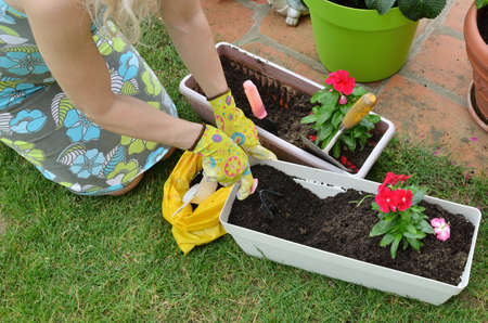 Woman re-potting red flowers on a garden lawn - top view