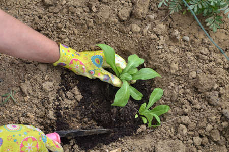 Hands in garden gloves planting a plant in a garden soil - top view Stock Photo