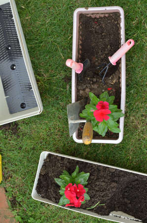 Re-potting red flower in a lush garden in spring
