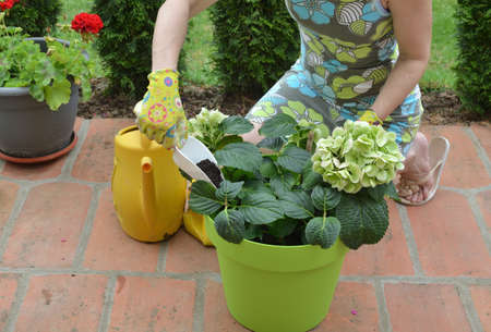 Woman adding fertilizing soil in a pot with lush flowers in a green pot