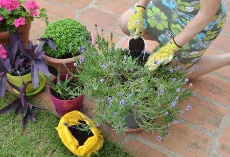 Woman adding fertilizing soil in a pot with lush lavender Stock Photo